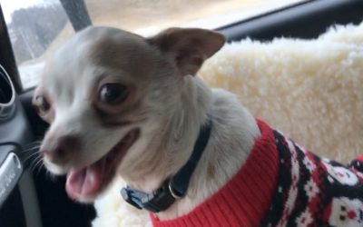 Another Little Dog who loves the CAR BOOSTER SEAT!